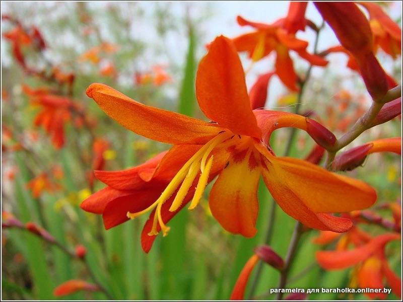 Монтбреция цветок