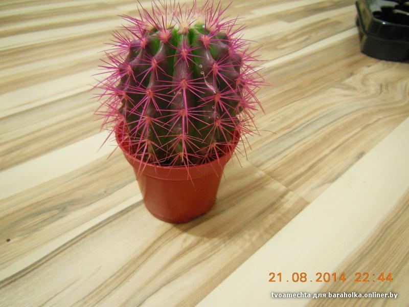 Сорокин кактус с красными иголками вахтовым методом проживанием