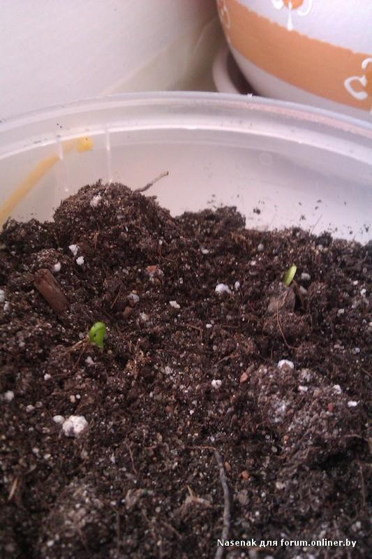 Когда сажать герберу семенами 5
