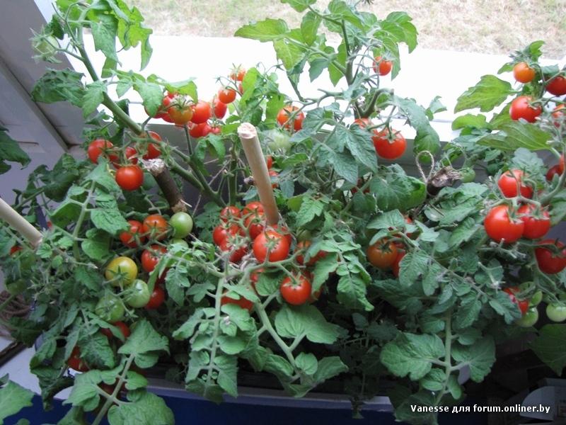Помидоры на подоконнике в домашних условиях: выращивание и у.