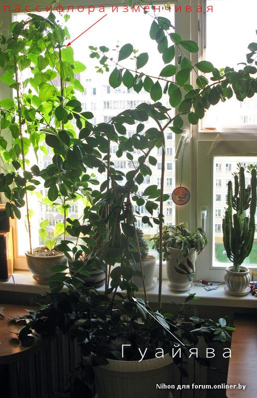 Мангостин в домашних условиях фото