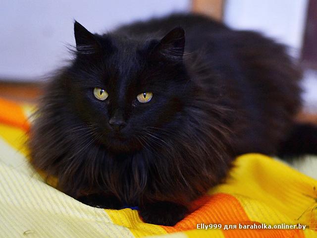 Чёрные пушистые коты порода