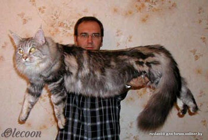 ну а это самый здоровый котяра в мире.