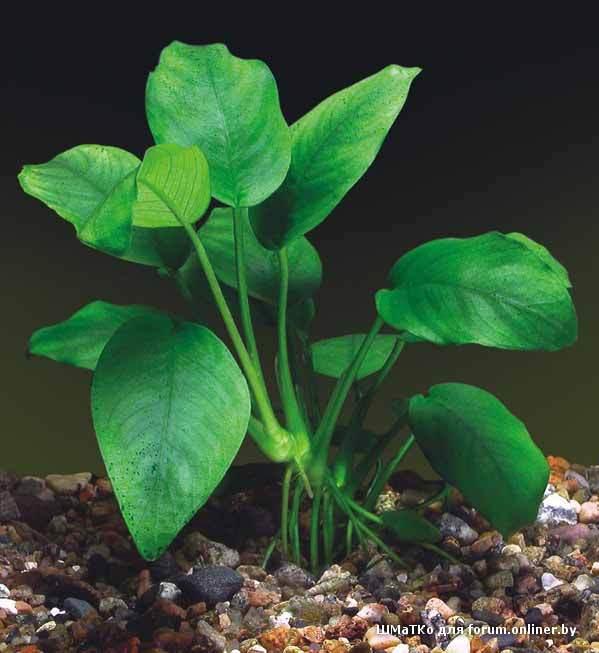 аквариумные растения фото с названиями