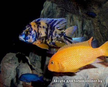 Фото аквариумов с цихлидами дизайн