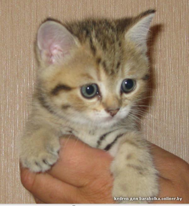Коты породистые даром