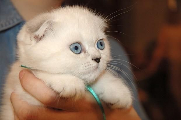 """В сочетаниях между собой и с  """"чистопородными """" британцами подобные  """"за- """" и  """"подэкзоченные """" кошки дают богатый спектр..."""