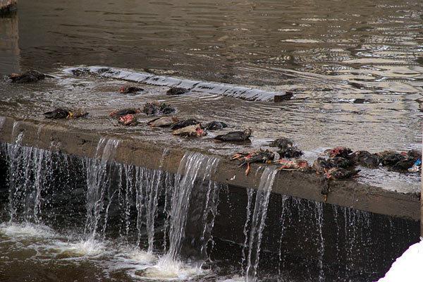 Птицы погибли оттого, что горожане кормили их хлебом