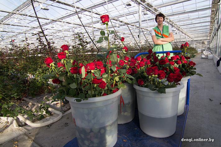 Выращивание роз в теплицах зимой 70