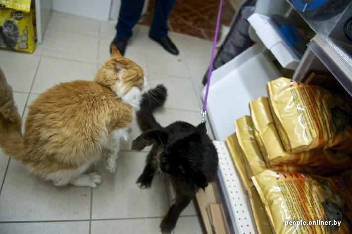 Фото мейн-кунов и обычных котов