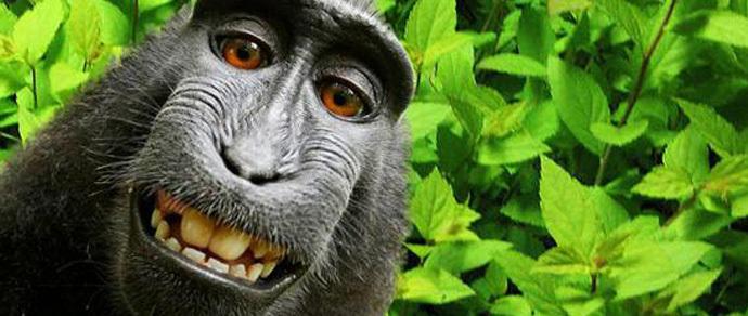 Фотографу отказали в авторских правах на обезьянье «селфи»