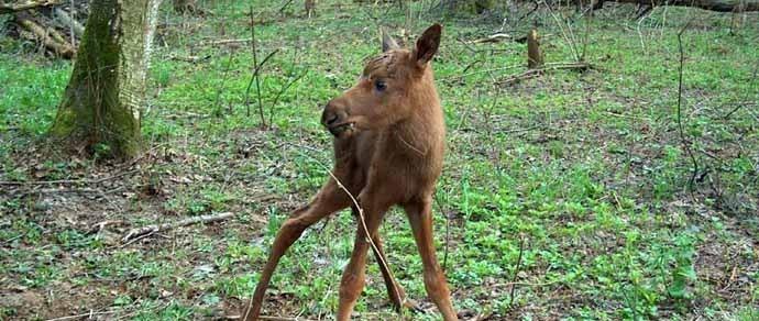Нестандартный случай. Госинспекция не знает, как наказать браконьеров, которые поставили ловушку для лосенка: животное выжило