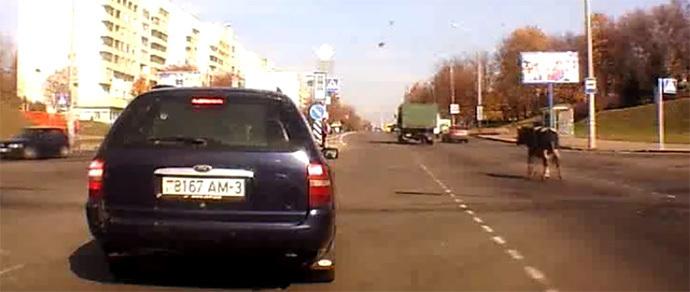 Минск: из грузового автомобиля выпала корова