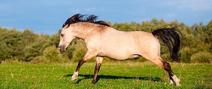 В Ленинградской области украли редкую лошадь. Хозяева думают, что ее везут в Беларусь, и обещают большие деньги за информацию