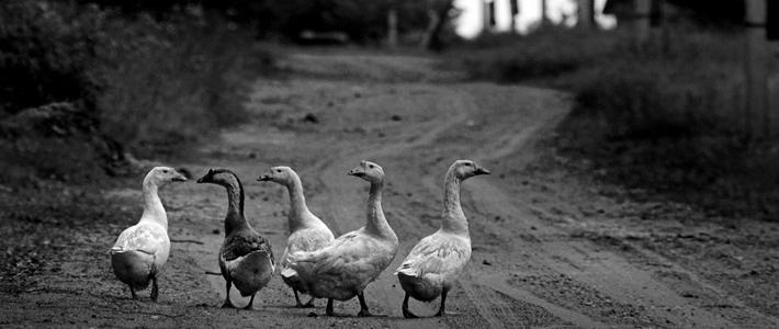Погоня из-за гуся