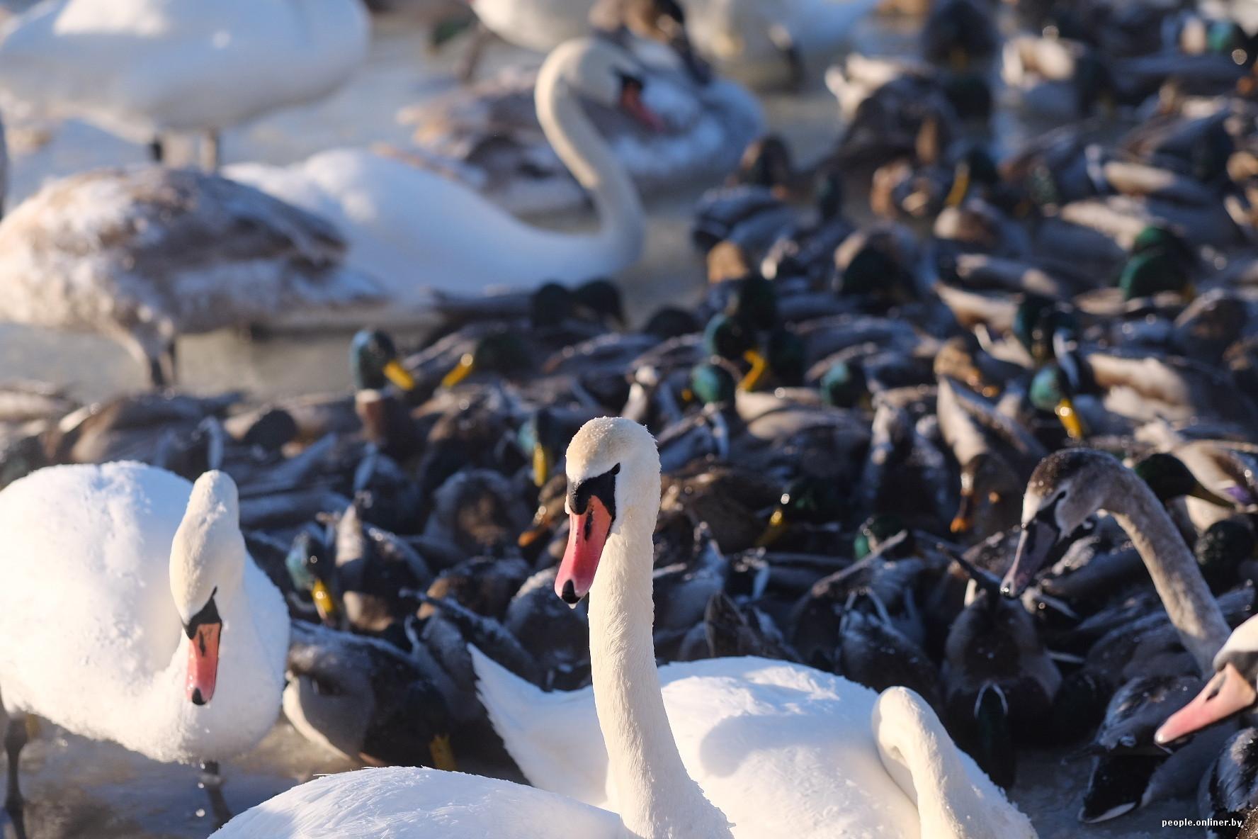 Неизвестен - гуси-лебеди, птицы белые