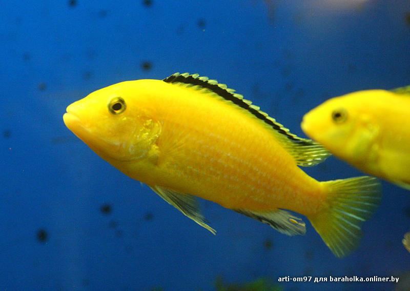 Вот мечтаю завести таких рыбок Yellow(еллоу цихлид), но боюсь как бы