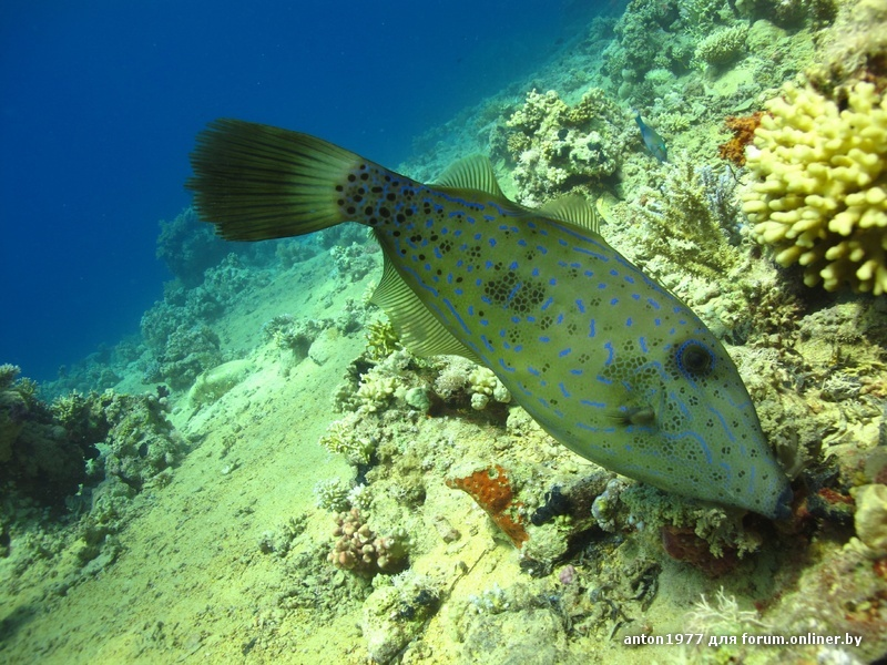 Filefish scrawled 4.jpg