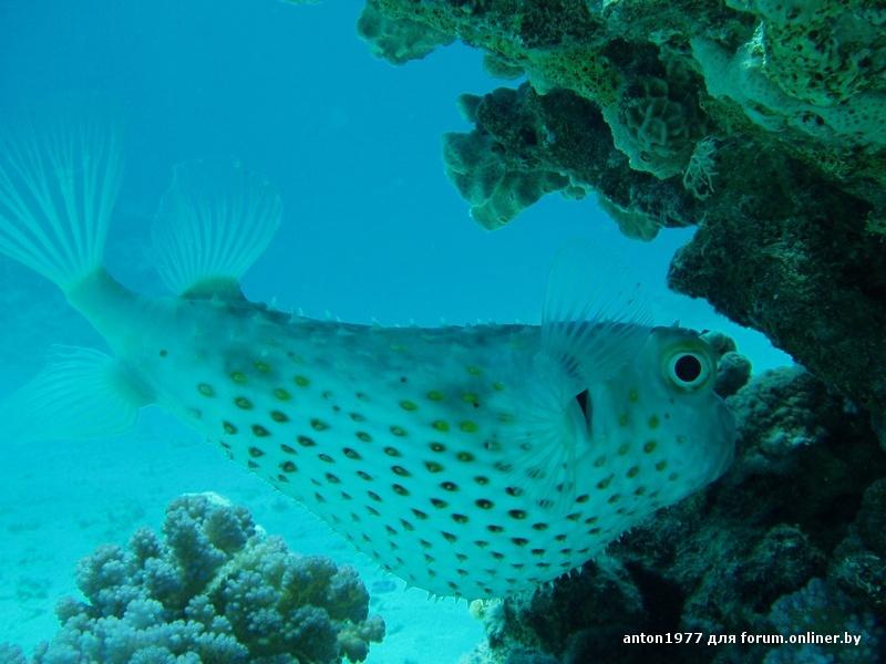 Burrfish yellospotted 1.jpg