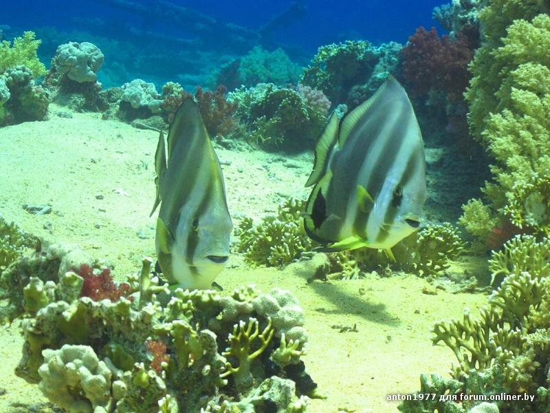 Circular batfish 14.jpg