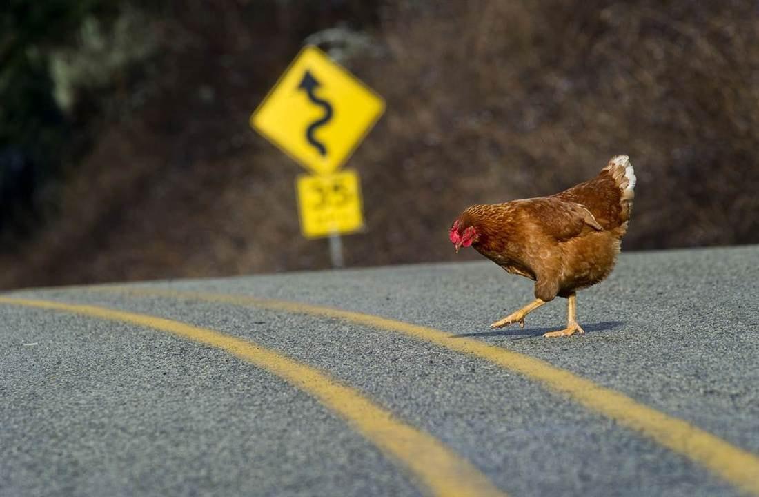 Картинка петух бежит за курицей