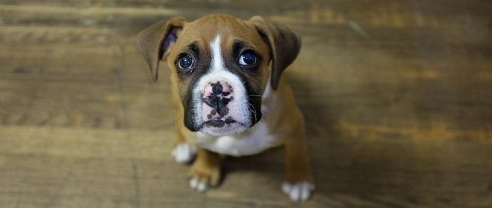 У человека и собаки во время зрительного контакта вырабатывается «гормон любви»