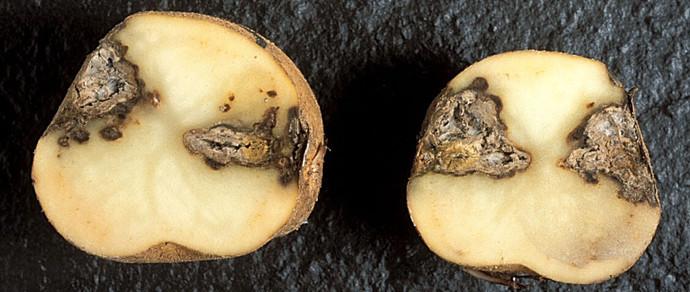 «Хавайся ў бульбу». Россельхознадзор нашел гниль в белорусской картошке