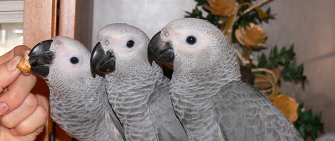 Получив «камерунское письмо», белоруска тайком от мужа заплатила больше $7 тысяч за бесплатных попугаев