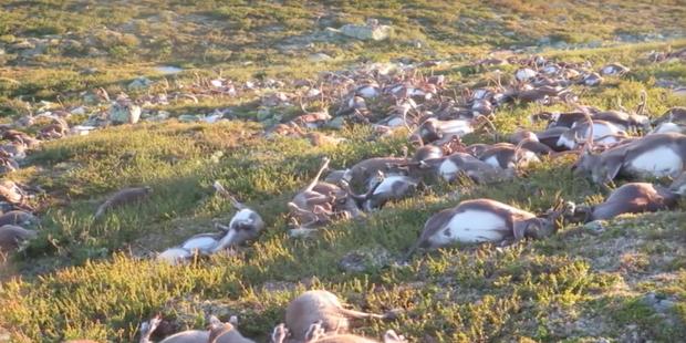 В Норвегии молния убила 323 оленя