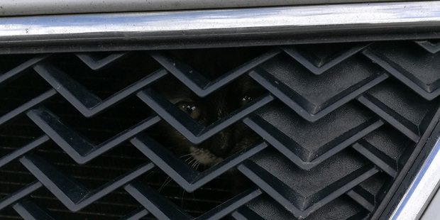 Котенок забрался в моторный отсек Chevrolet. Прохожие предупредили владелицу об опасности