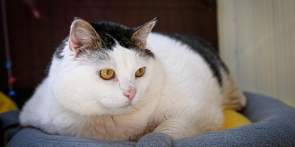 Жив, грустный». Самый толстый котик Беларуси заболел