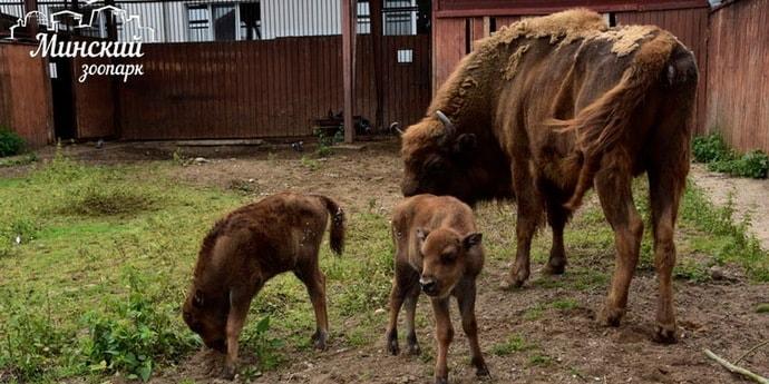 В Минске Мулатка родила двоих зубрят. Им нужны имена(3 фото)