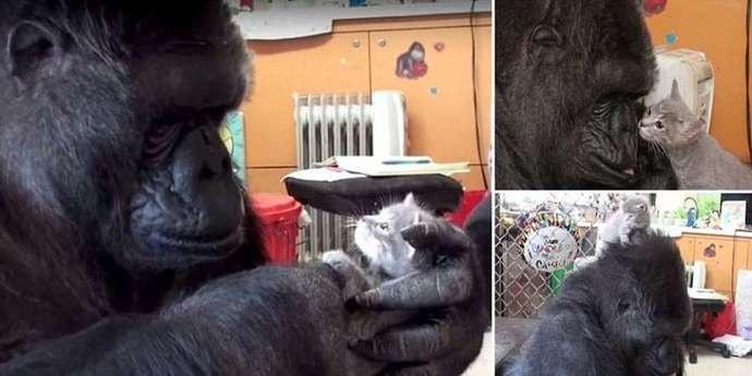 Умерла горилла Коко, которая умела общаться языком жестов