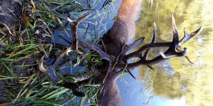Во время поединка в Березинском заповеднике погибли два оленя