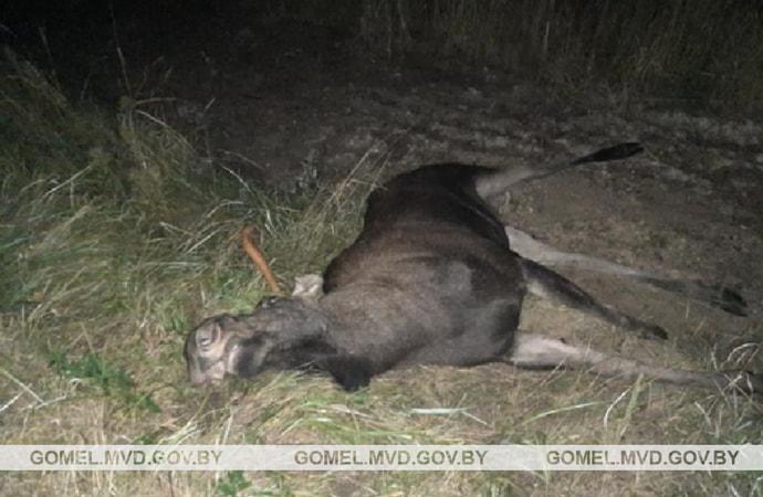 Вчера вечером водитель на Volkswagen Passat сбил лося. Мужчина погиб на месте, его пассажирка госпитализирована