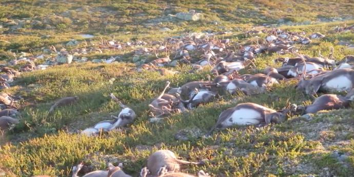 Картинки по запросу трупы оленей в тундре  браконьерство