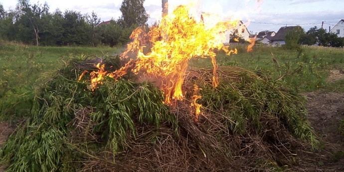 Под Мозырем установили рекорд района и сожгли 720 кило конопли